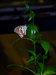 The one live butterfly we saw in the whole butterfly farm